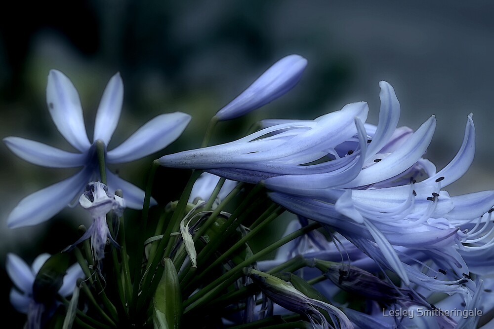Moonlit Lavender Petals by Lesley Smitheringale