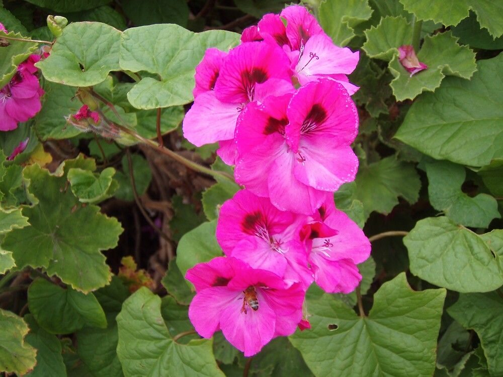 pollen collecting bee in the pelargoniums by gaylene