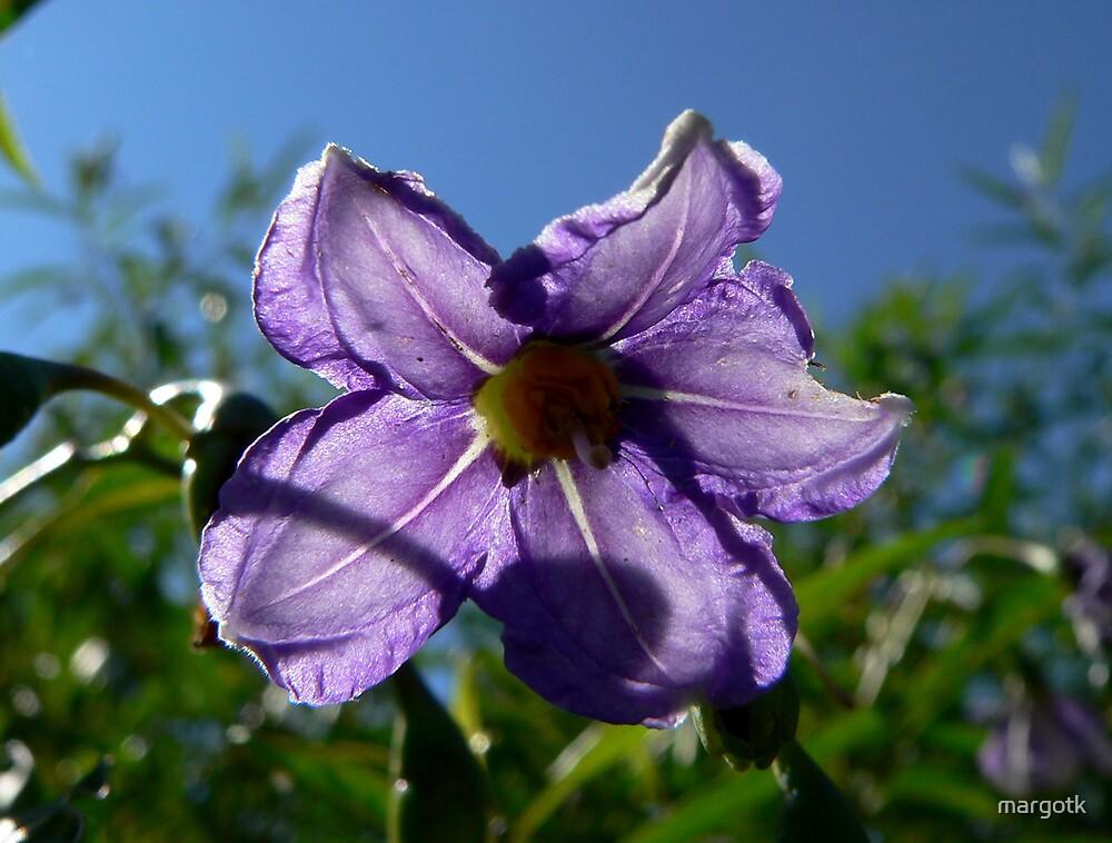 Backlit Solanum by margotk