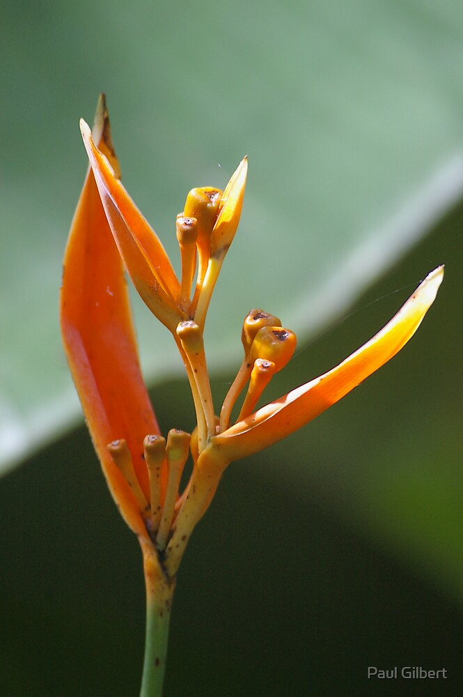 In my garden - Heliconia by Paul Gilbert