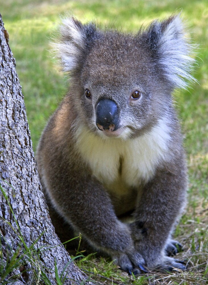 """Kevin"" the Koala by Don Stott"
