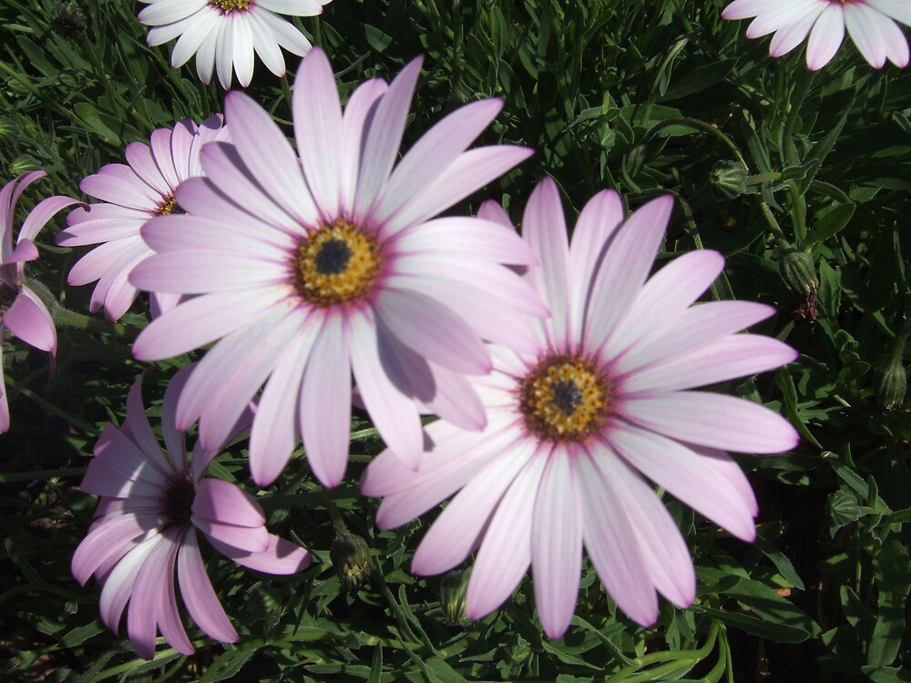 Caped daisies by TMcCay