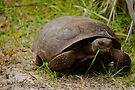 Gopher Tortoise Eats Lunch by ValeriesGallery