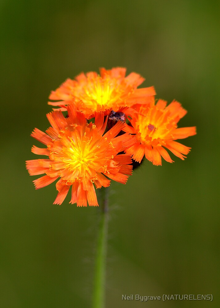 Fox-and-cubs by Neil Bygrave (NATURELENS)