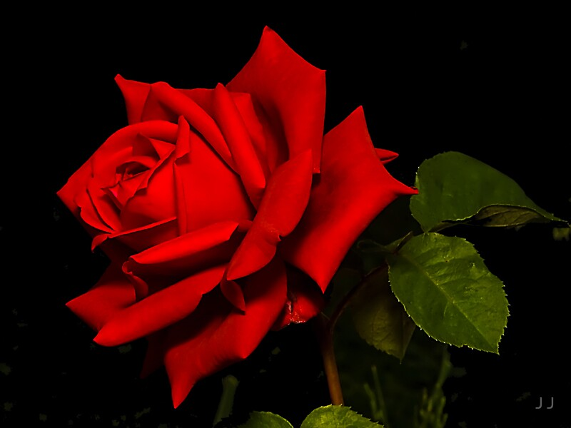 Just A Rose by J J