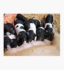 Piggy Feeding Time Photographic Print