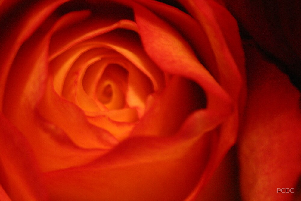 Red Rose by PCDC