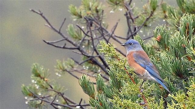 Western Bluebird by raptrlvr