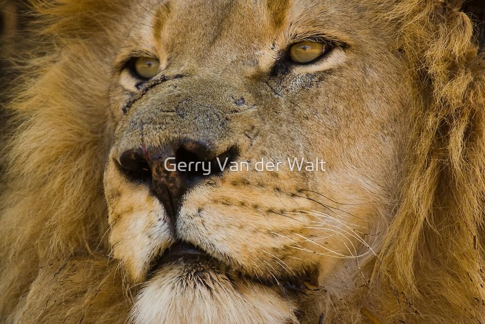 Lion - A Long Hard Life by Gerry Van der Walt