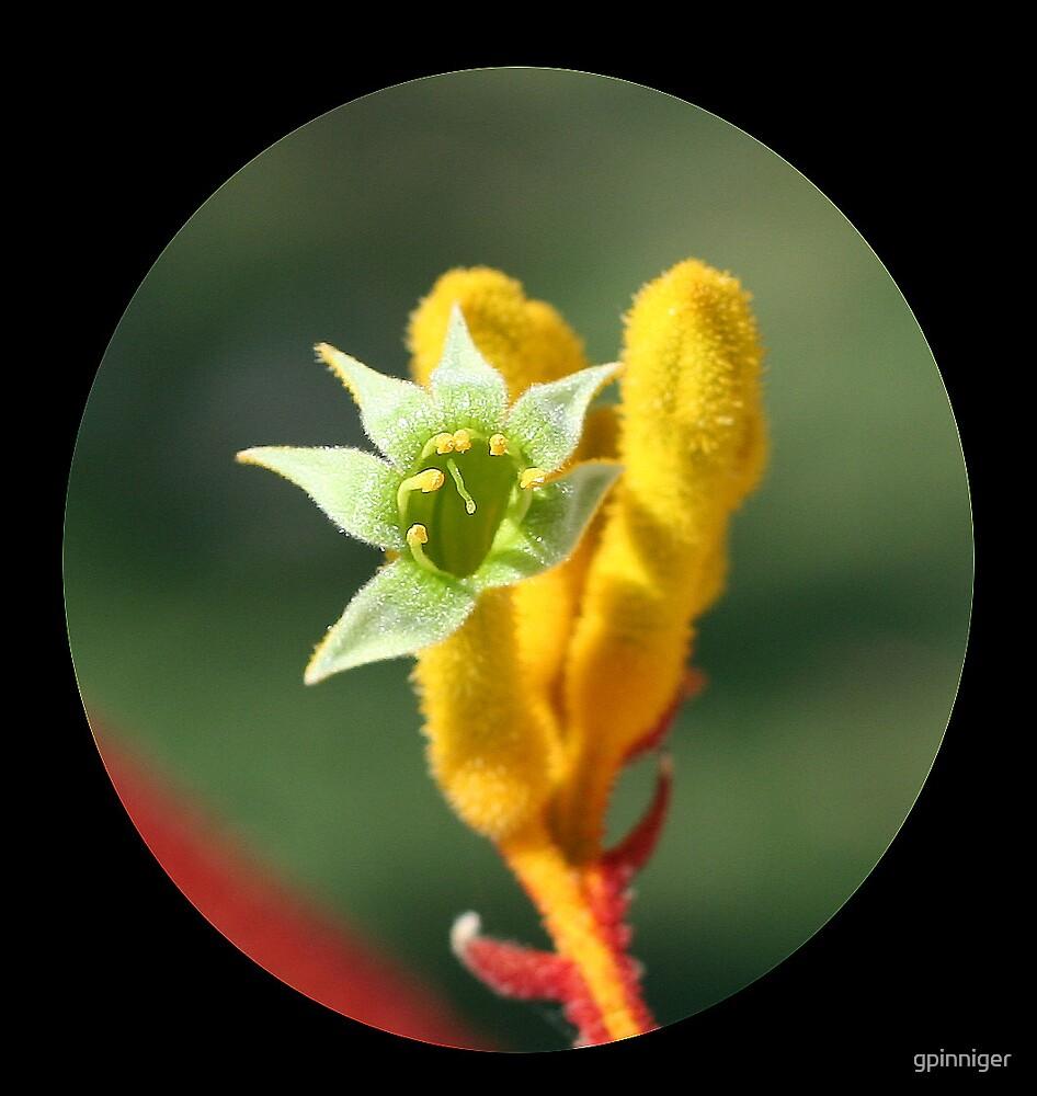 Flower of Kangaroo Paw by gpinniger