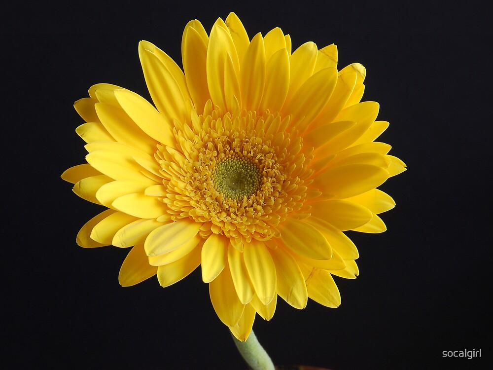 Yellow Gerber by socalgirl