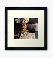 Majestic Siberian Tiger Framed Print