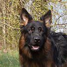 German Shepherd Close-up by Sandy Keeton