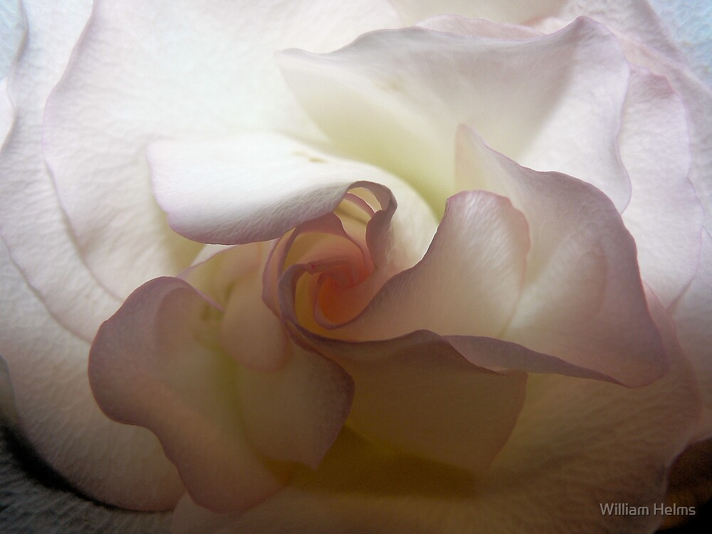 Rose 2 by William Helms