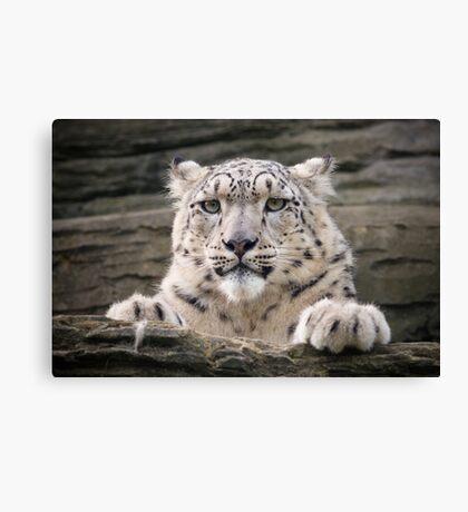 Snow leopard (Panthera uncia) Canvas Print