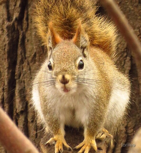 Scolding Squirrel  by lorilee