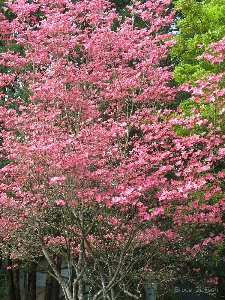 dogwood spring by Bruce  Dickson