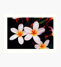 frangipani blossoms from home Art Print