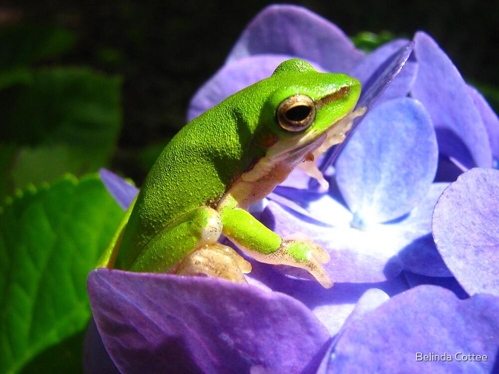 frog on hydrangea by Belinda Cottee