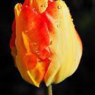 Fiery Tulip by Susie Peek