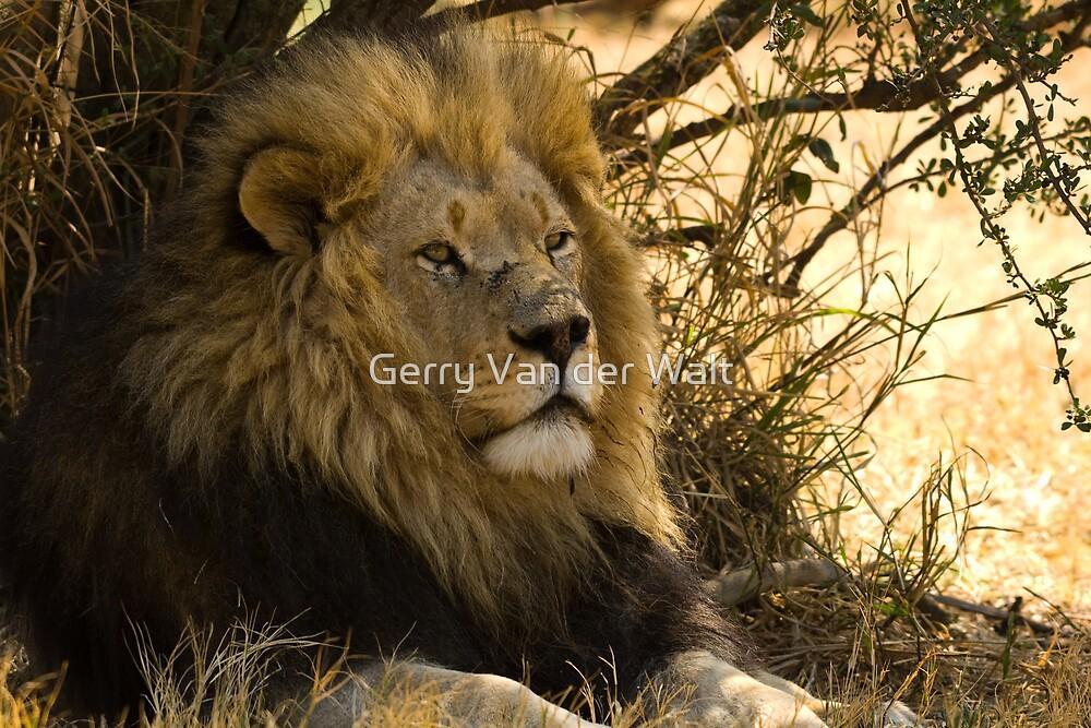 Proud Male Lion by Gerry Van der Walt