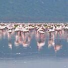 Pink Flamingos Africa  by Robert Blamey