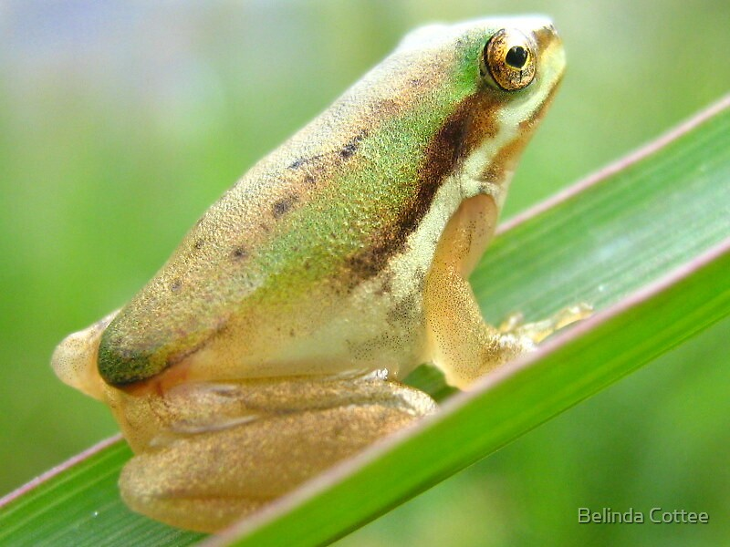 not a tadpole now by Belinda Cottee