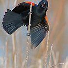 Redwing Blackbird by Karen  Helgesen