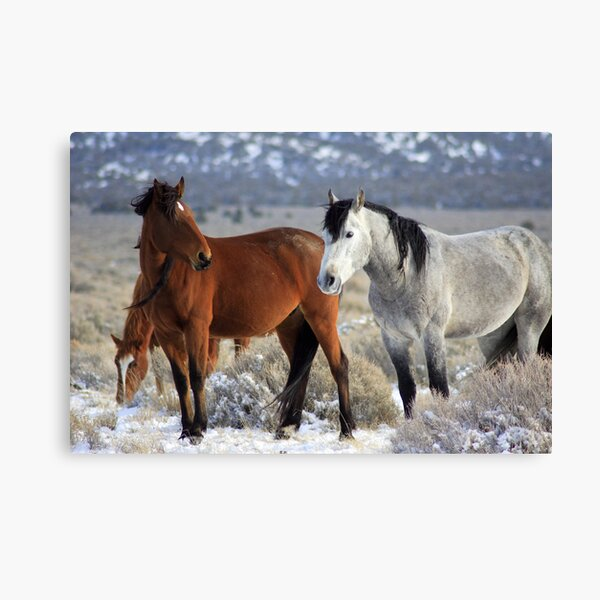 Snow Mustangs Canvas Print