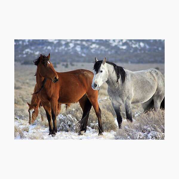 Snow Mustangs Photographic Print