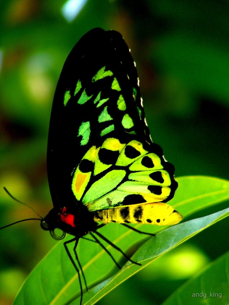 birdwing by andy  king