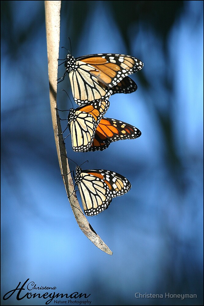 Monarch Trio by Christena Honeyman