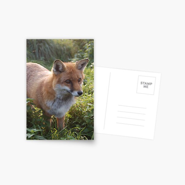 Curious Fox Postcard