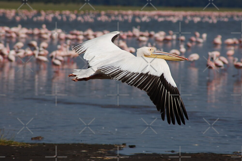 Pelican Takeoff by ApeArt