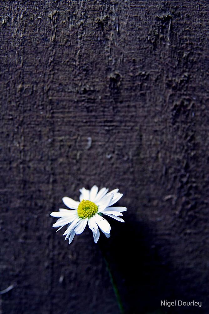 Daisy by Nigel Dourley