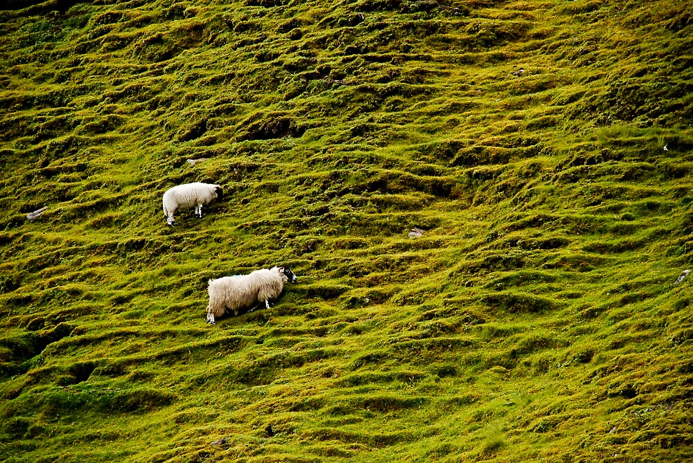 Scotland sheep by Jan Cervinka