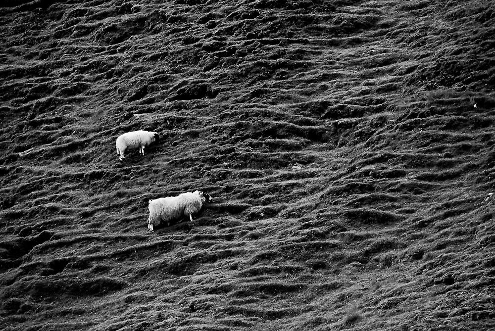 Scotland sheep BW by Jan Cervinka