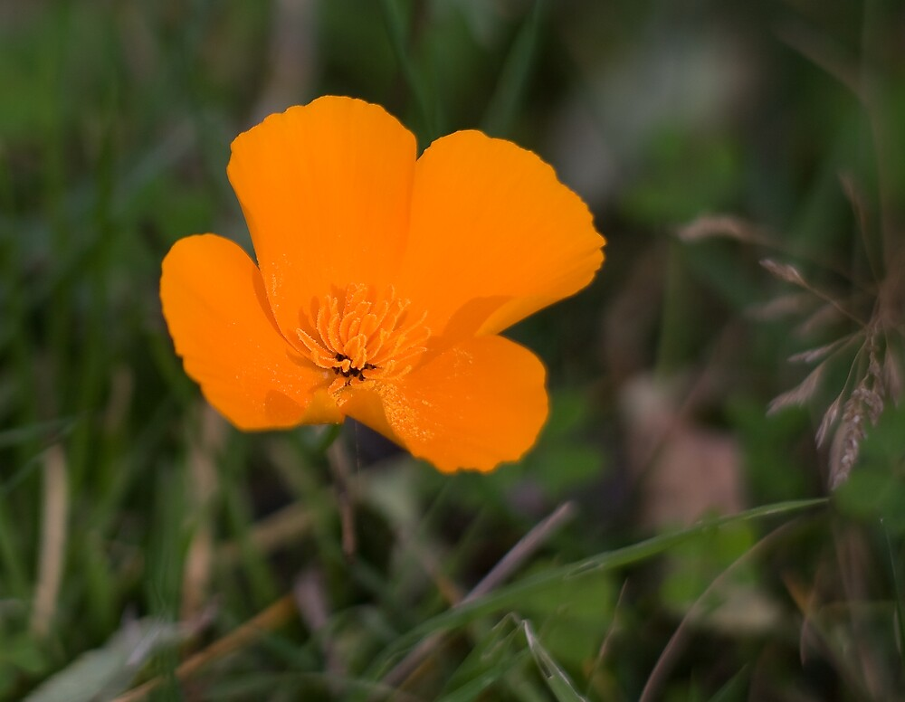 California Poppy by Adam Mattel
