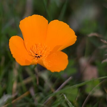 California Poppy by amattel