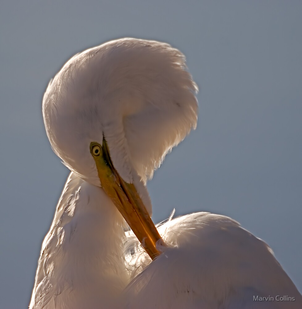 Egret Preening by Marvin Collins