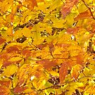 Fall Leaves by carly34