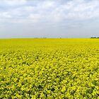 Fields full of gold by Ana Belaj