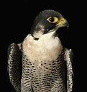 Perigrine Falcon by Macky