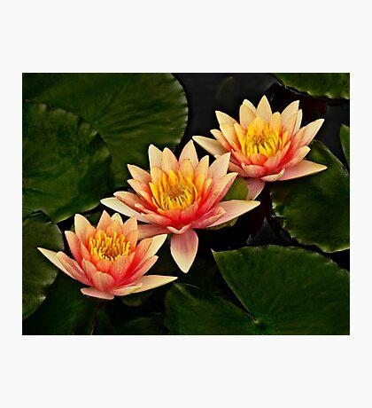 Three orange waterlilies Photographic Print