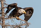 Bald Eagle: prelaunch wing test by Anthony Brewer