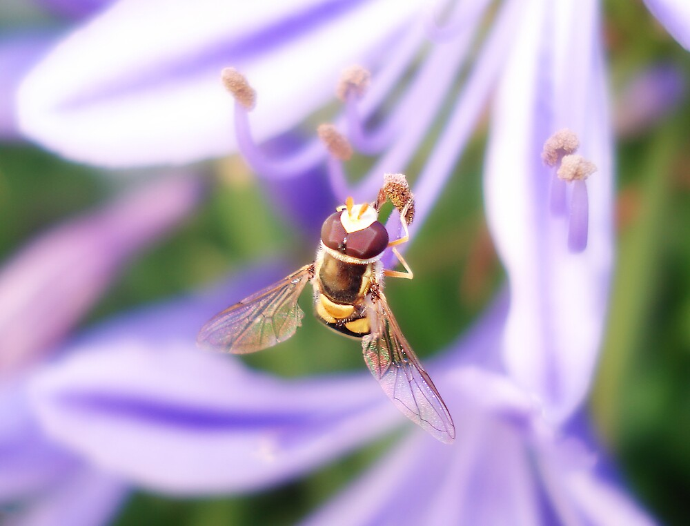 Hover Fly by Nathan T