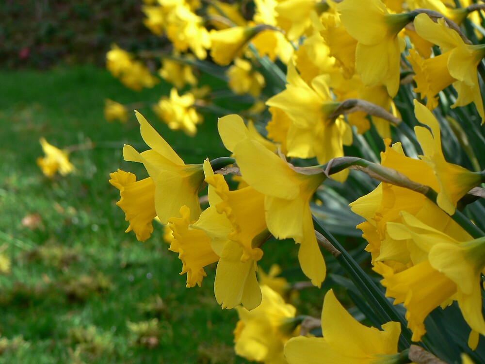 Daffidills in bloom by Vanessa Combes