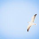 Larus Argentatus Smithsonianus - American Herring Gull   Orient Point, New York [Sophie's Schrott] by © Sophie W. Smith
