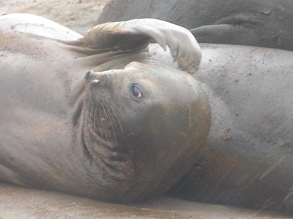 Female Elephant Seal by Zac Gillett