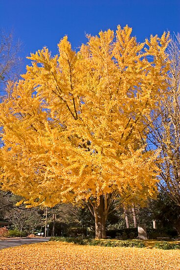 Yellow Tree in Fall by dbvirago